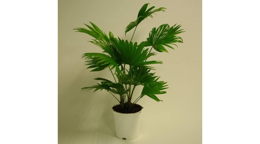 Szerteágazó fajtájú szobanövények